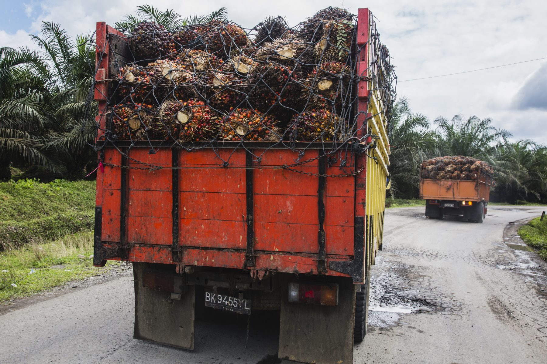 Being delivered at processing plant, harvested palm oil fruit grown to be exported to the west for use in processed food stuffs, cosmetics, household cleaning products and more. Palm oil plantations are cutting down and burning primary and secondary forests vital as habitat for wildlife including the critically endangered Sumatran and Borneo orangutans, Sumatra, Indonesia