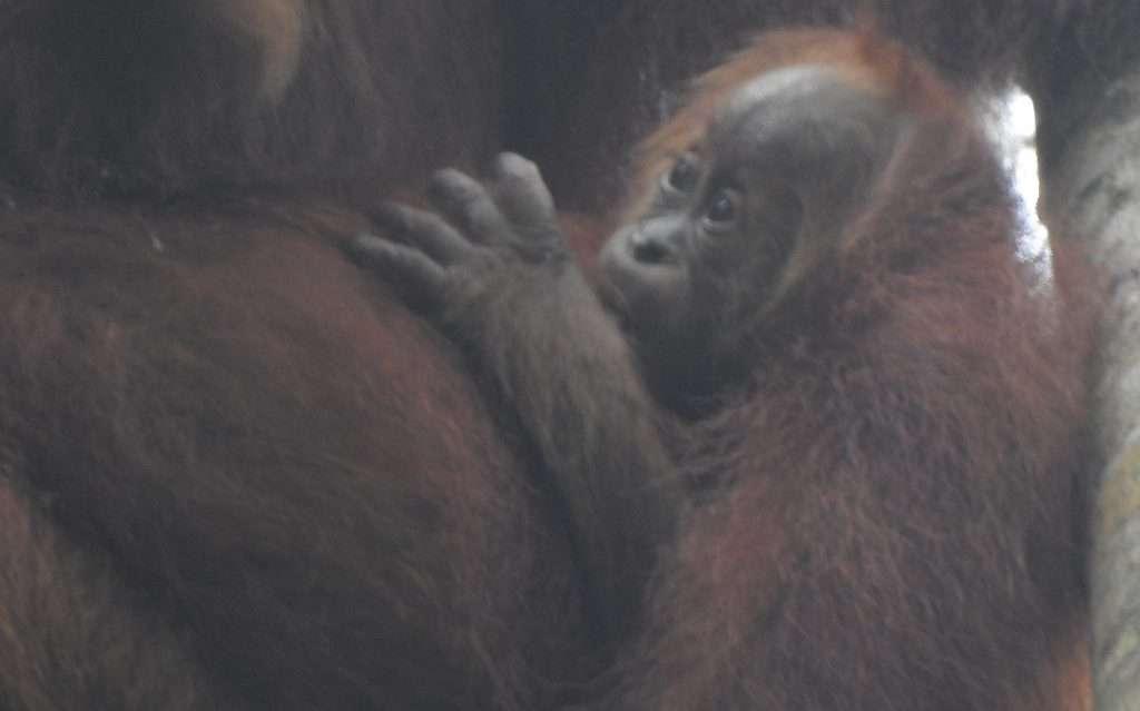 Eja, the third baby orangutan born in Jantho